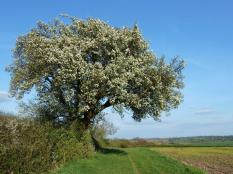 02 Cubbington's wild pear tree overlooks Leam Valley. Frances Wilmot fwilmot@open-air.biz P1060446 (2)